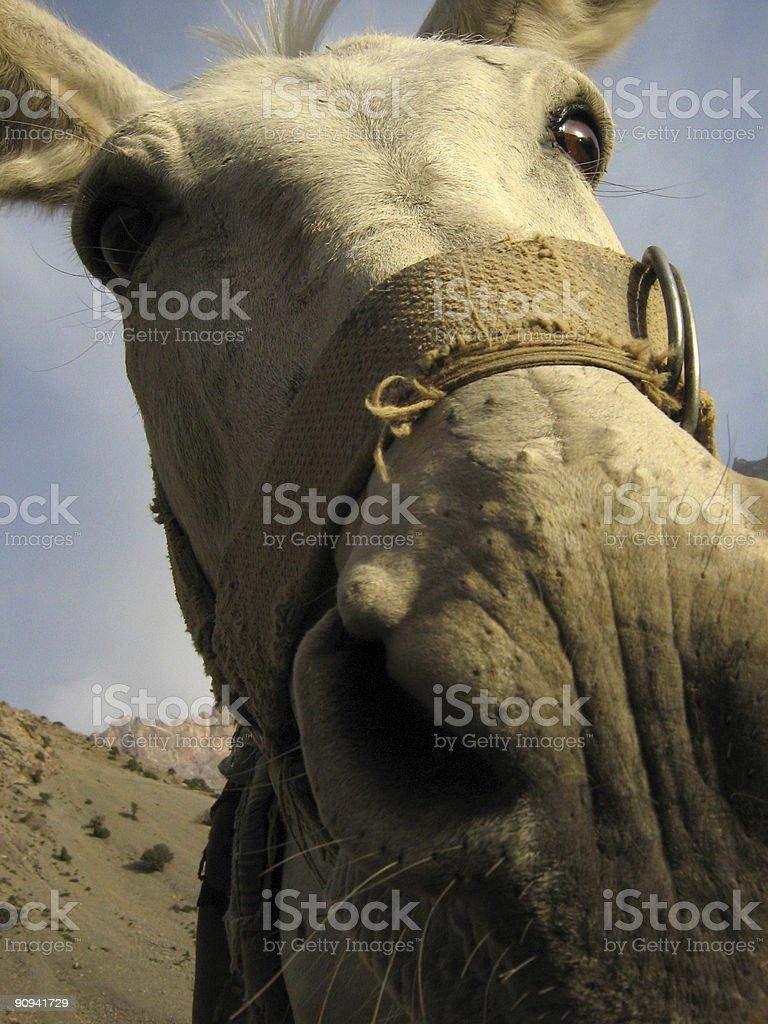 Mule peeking in camera lens royalty-free stock photo