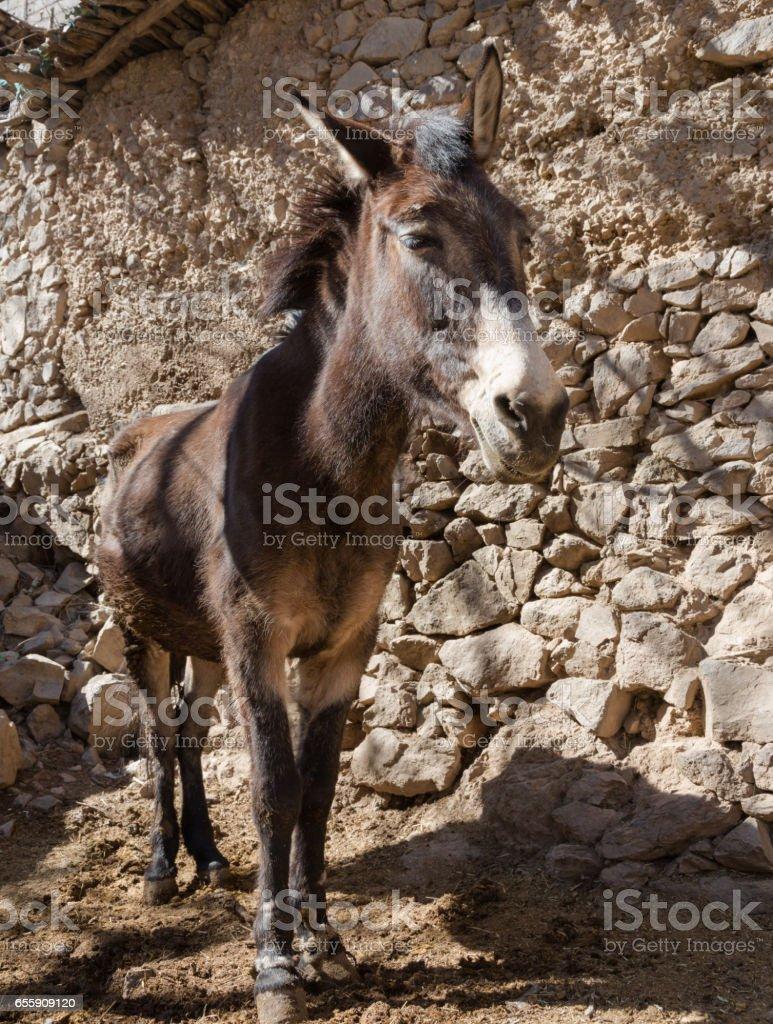Mule portrait stock photo