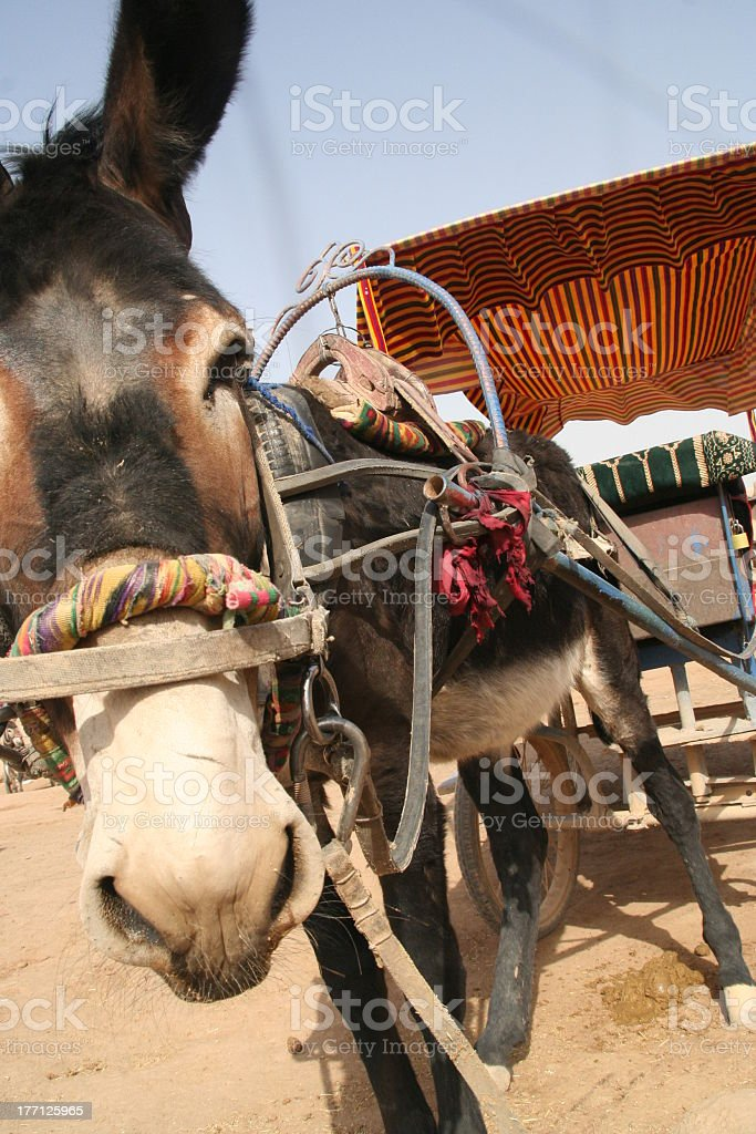 Mule ride royalty-free stock photo