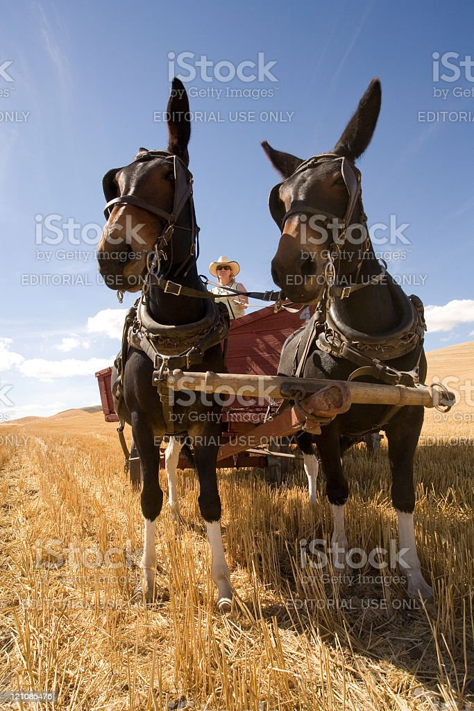 Mule team pulling wagon. stock photo