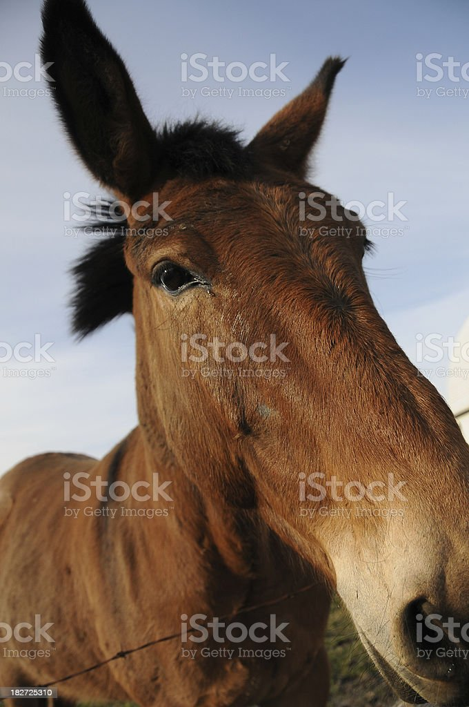 Mule With Head Over Fence stock photo