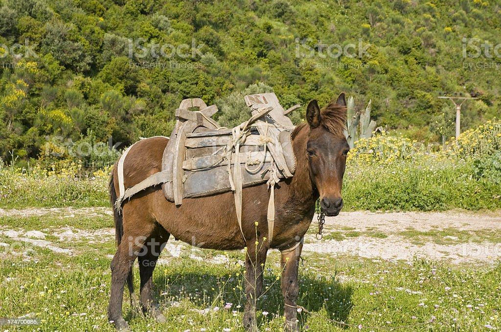 Mule with Wooden Saddle royalty-free stock photo