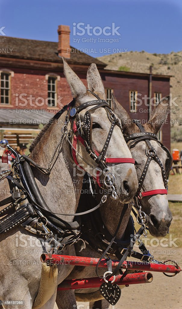 Mules in Harness stock photo