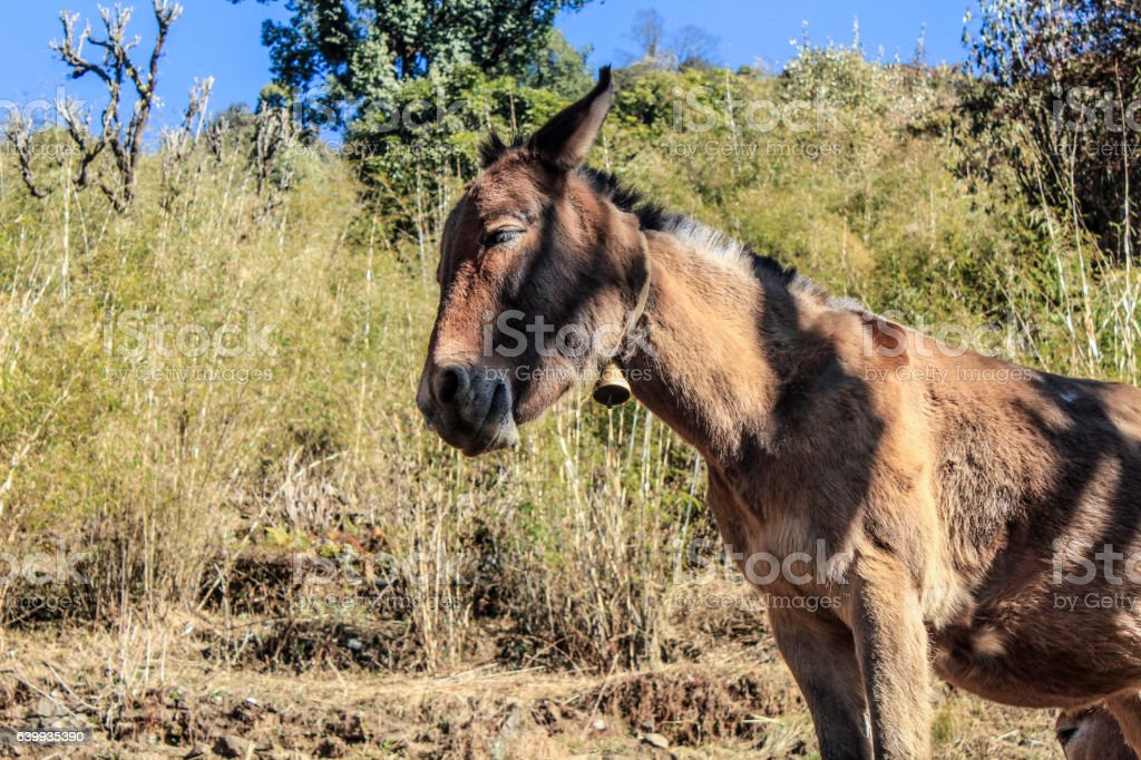 mules in Nepal for goods transportation stock photo