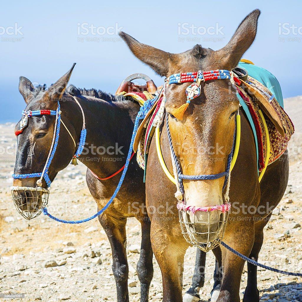Mules on Santorini island, Greece stock photo
