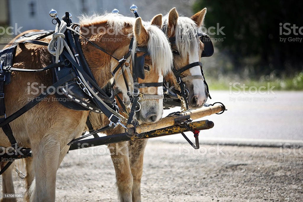 Mules royalty-free stock photo