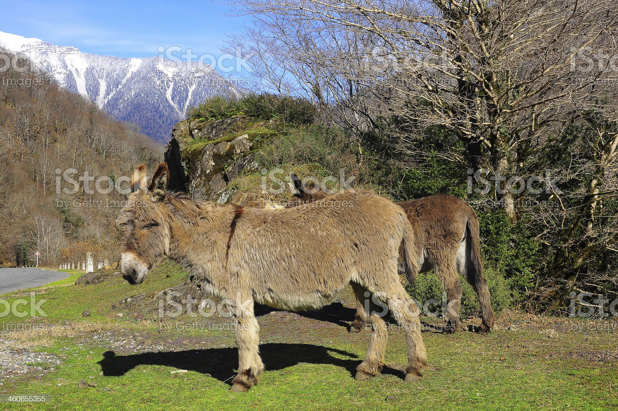 Mules. royalty-free stock photo