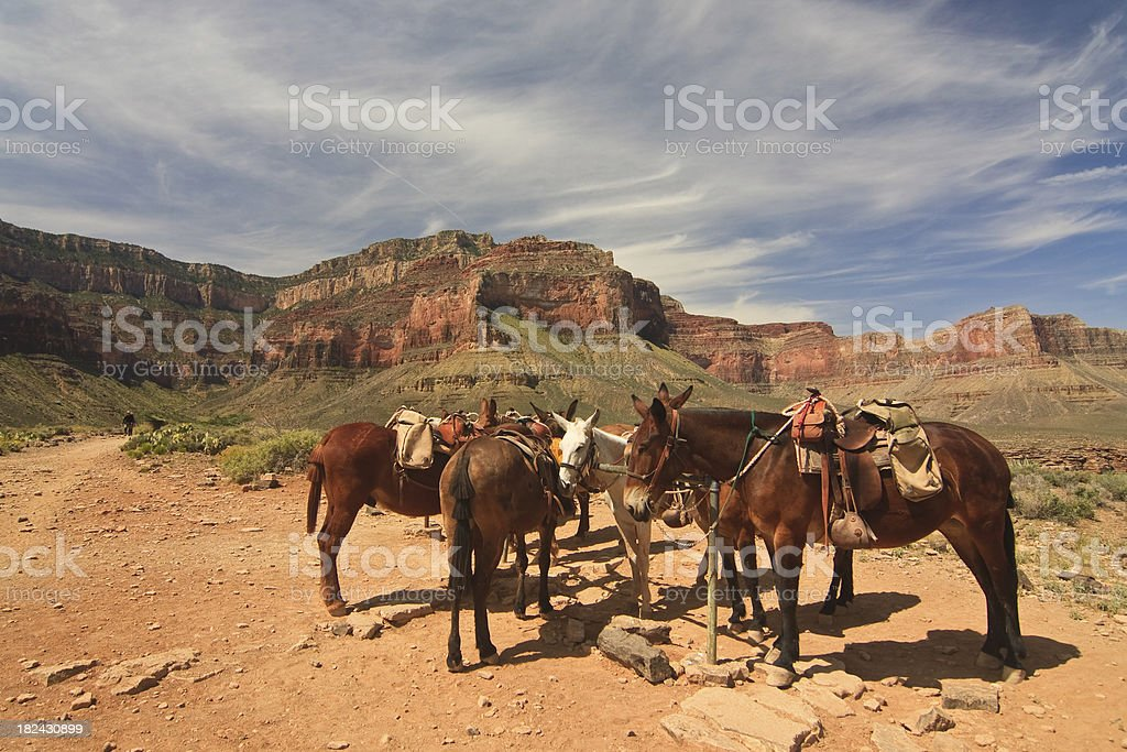 Mules resting in the Grand Canyon 1 stock photo