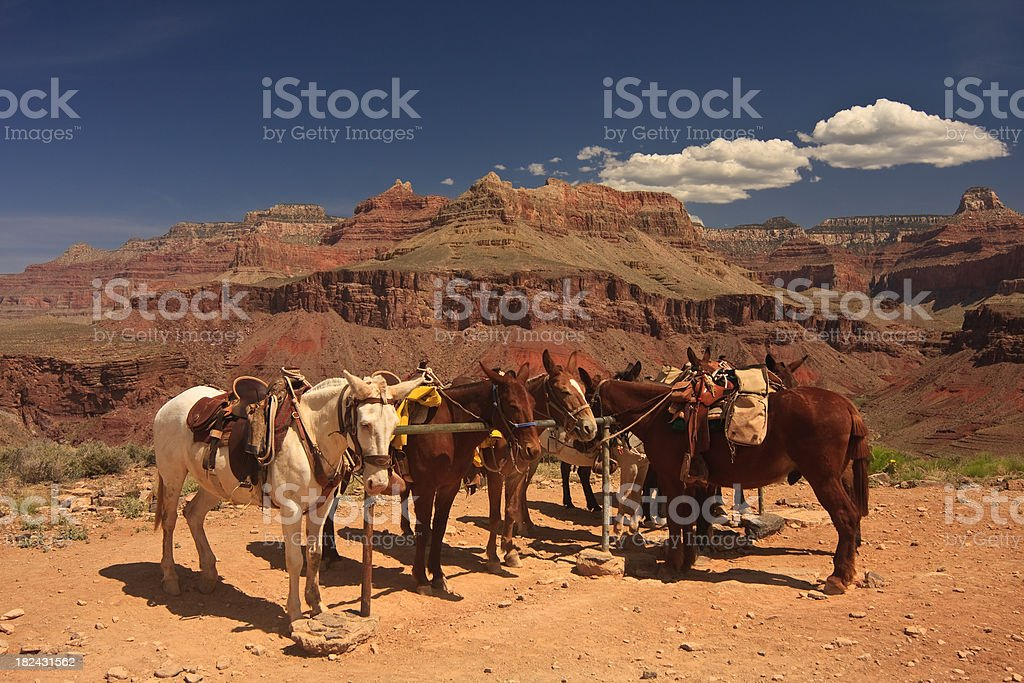 Mules resting in the Grand Canyon 2 stock photo