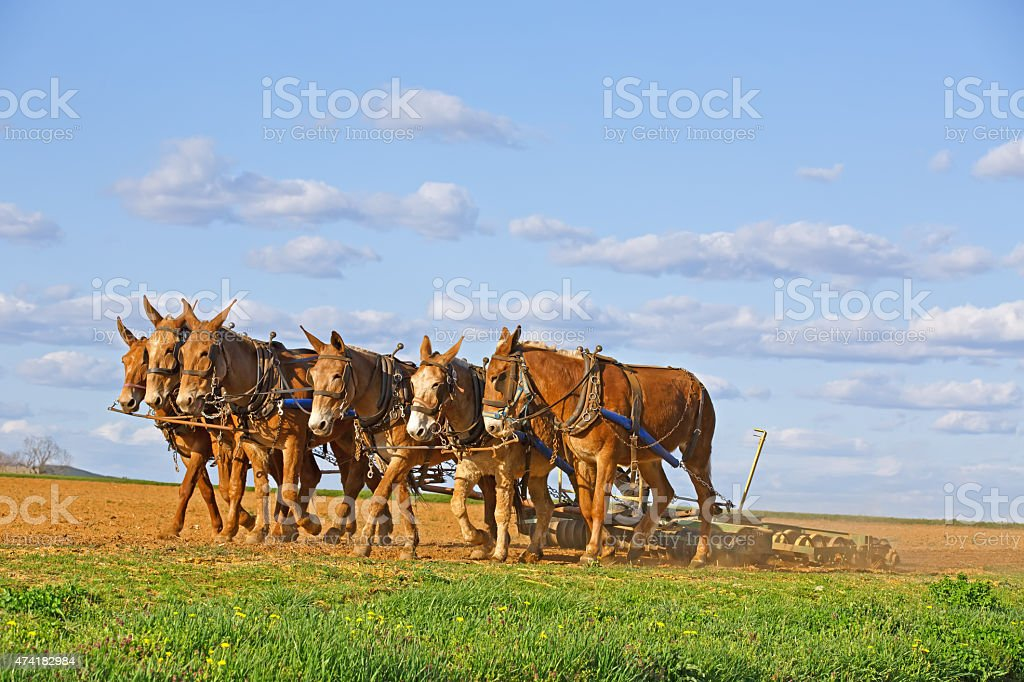 Mules Working on Amish Farm stock photo