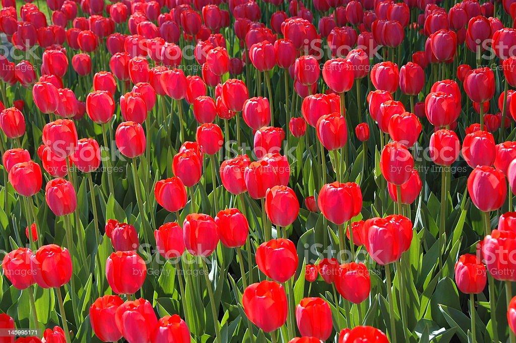 Muliple Red Tulips stock photo