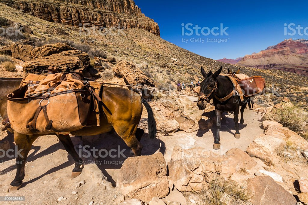 Mulis on Grand Canyon Trail stock photo