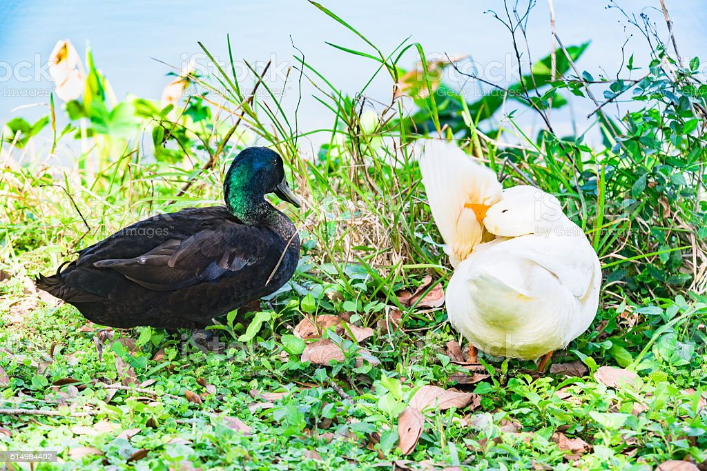 Mullard Duck and Embden goose on the lake stock photo