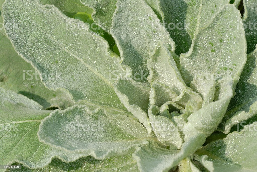 Mullein herb plant royalty-free stock photo