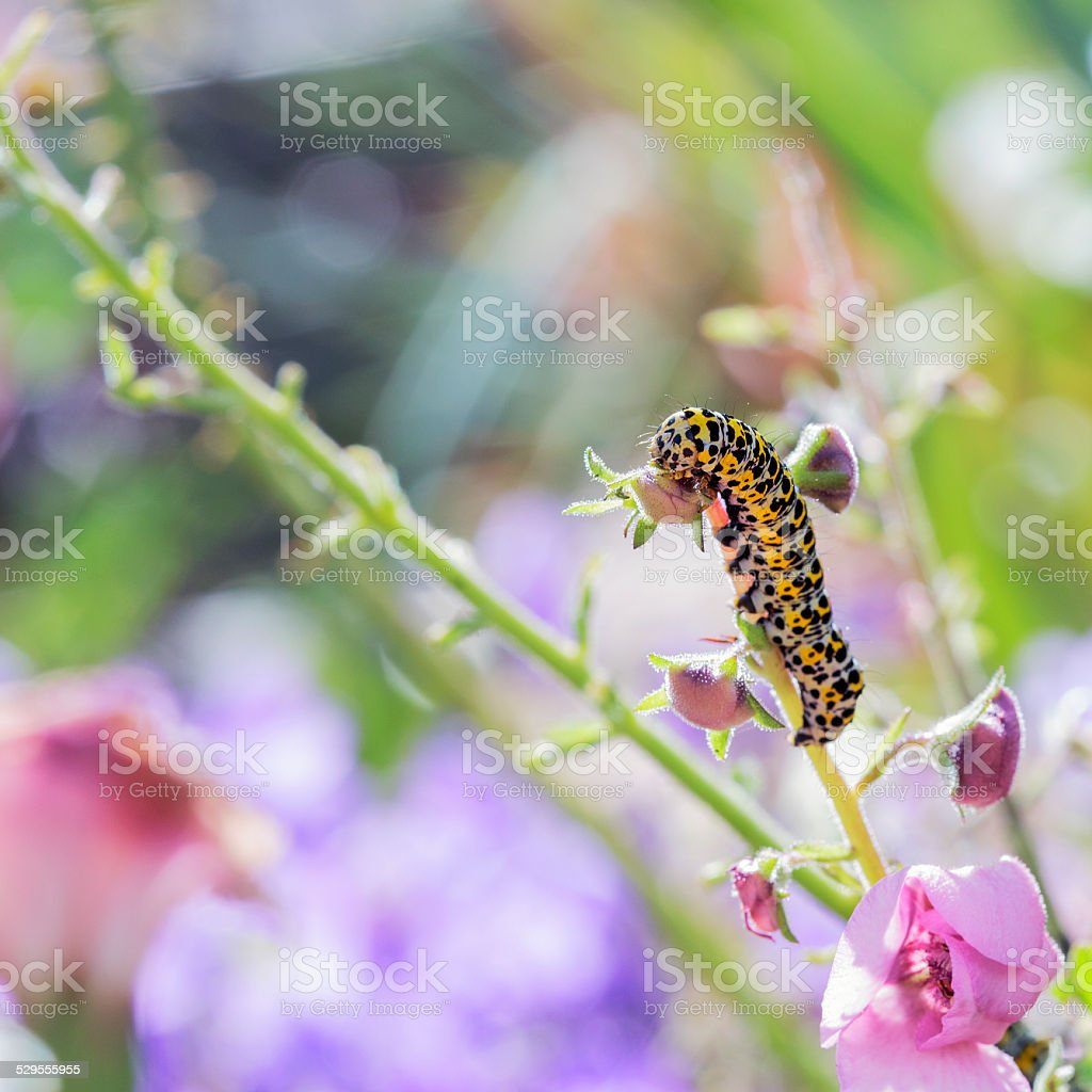 Mullein moth stock photo