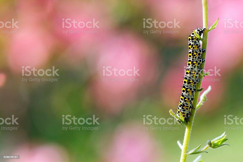 Mullein Moth stock photo