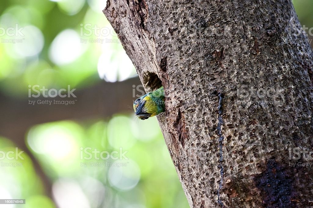 Muller's Barbet royalty-free stock photo