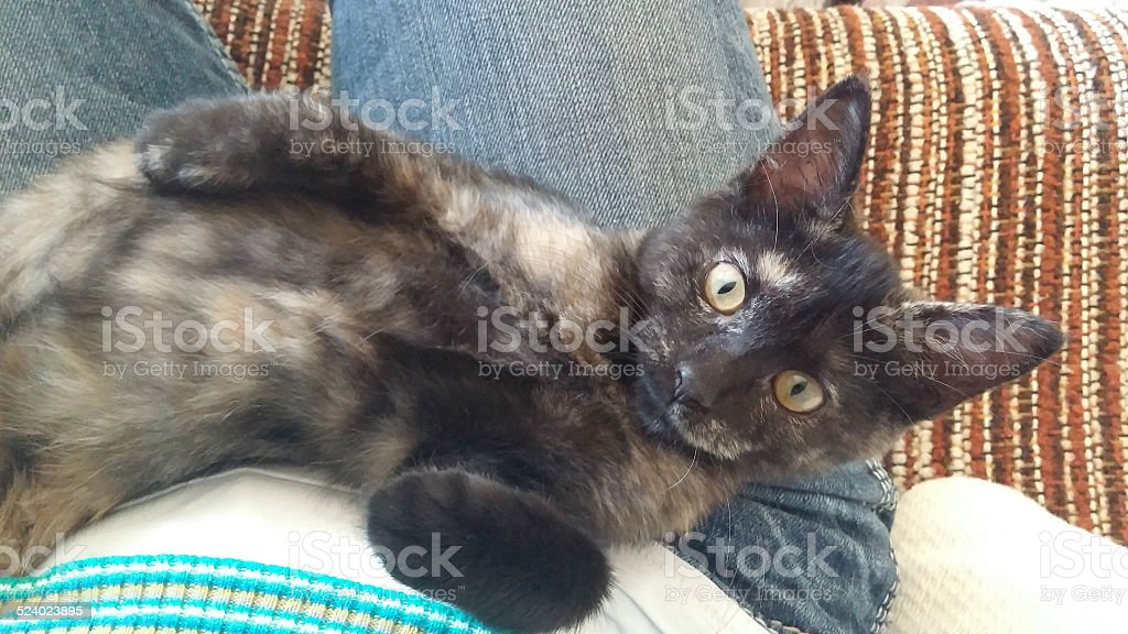 Multi Colored Cat Laying On Back on Lap Looking Up stock photo
