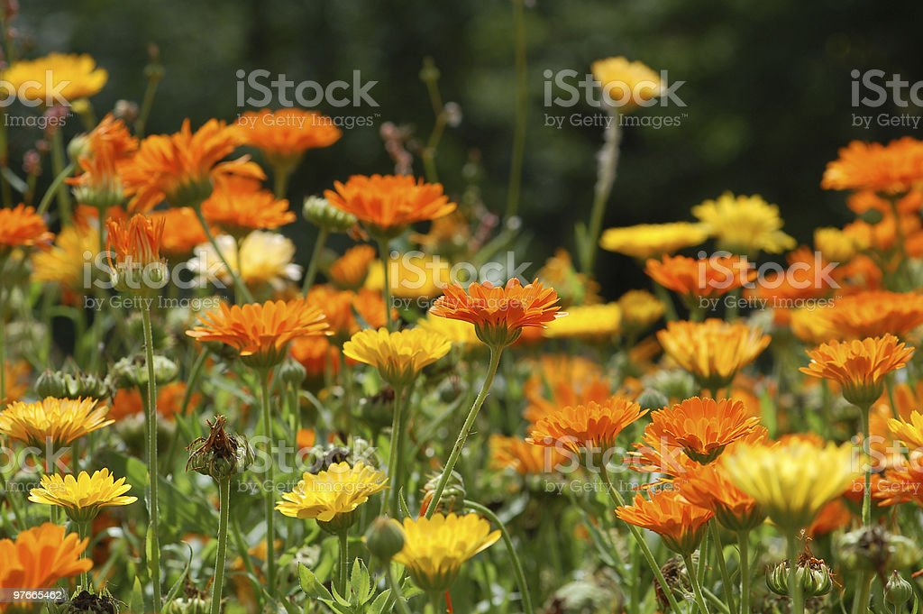 multi colored field of Pot Marigold background royalty-free stock photo