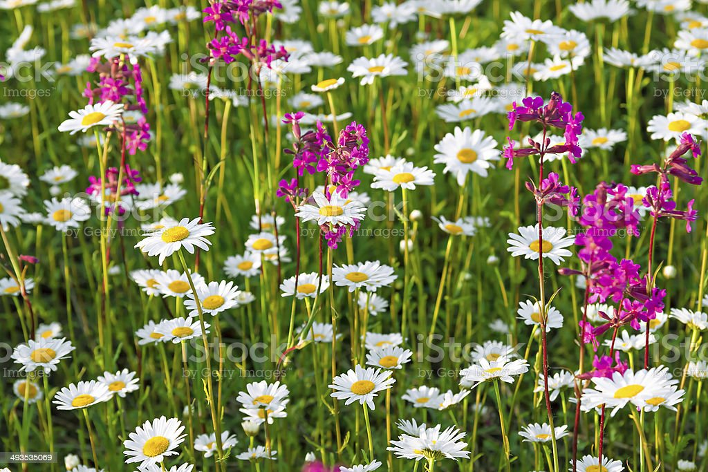 multi colored flowers blossoming on a meadow stock photo