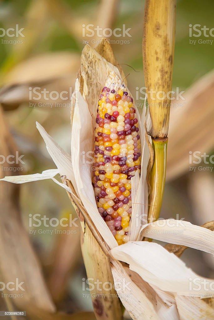 Multi Colored Popcorn stock photo