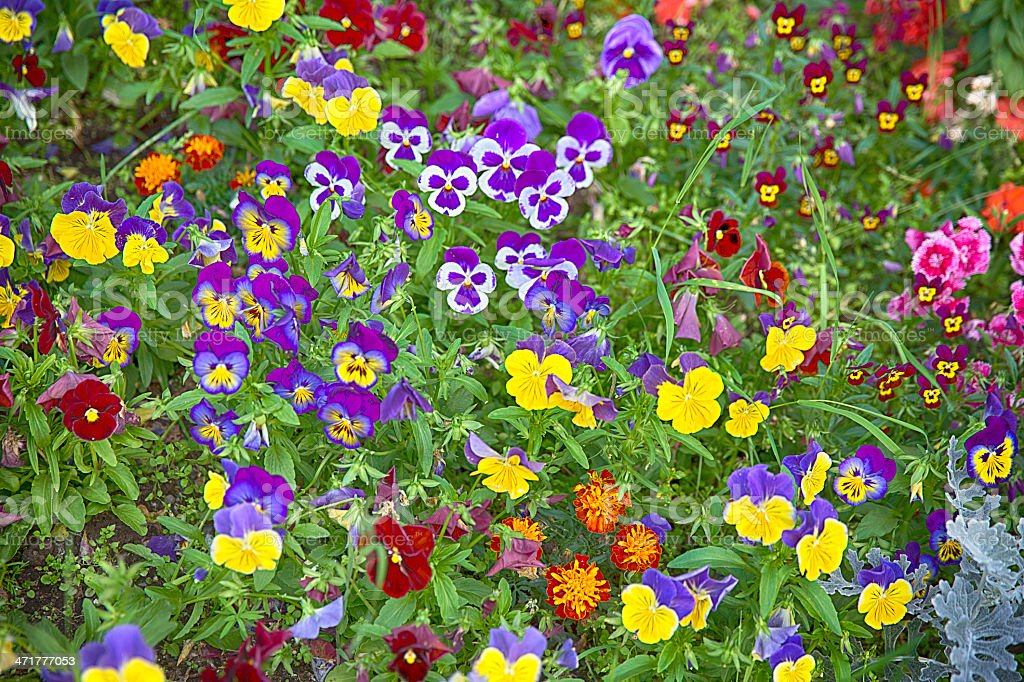 multi colored summer annuals flowers royalty-free stock photo