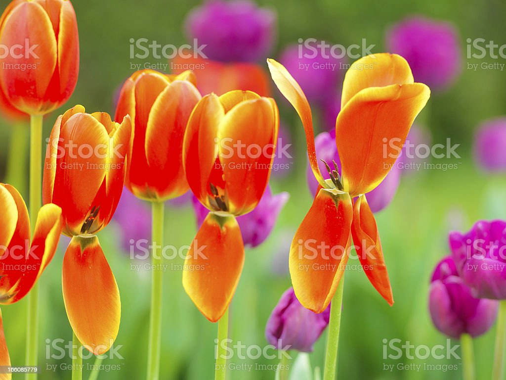 Multi coloured tulips on nature background royalty-free stock photo