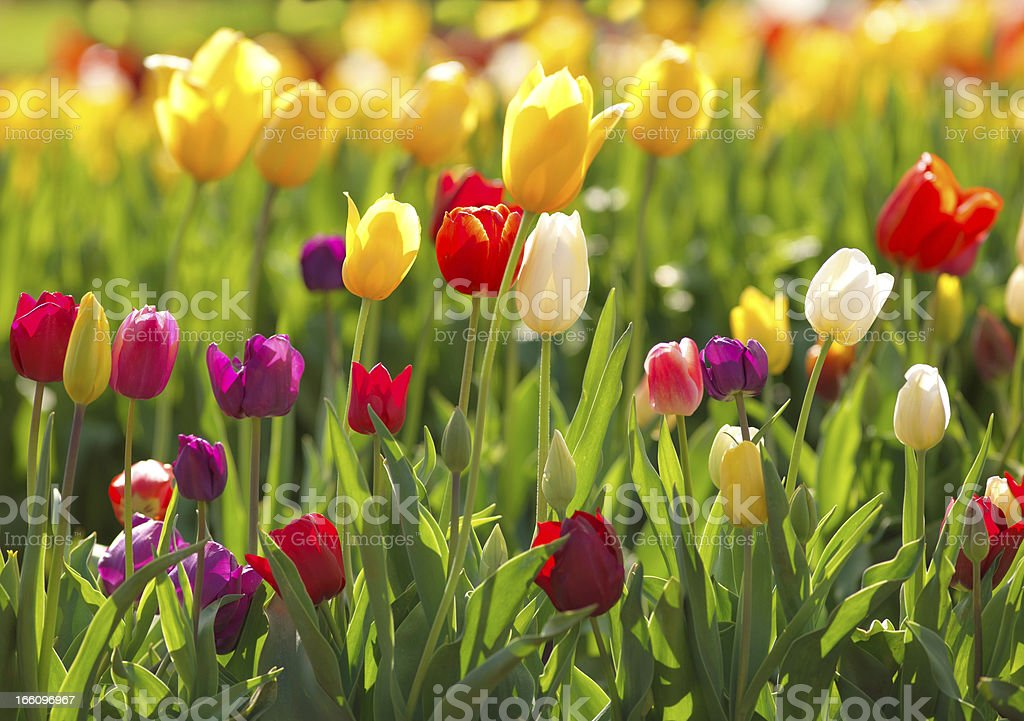Multi coloured tulips royalty-free stock photo