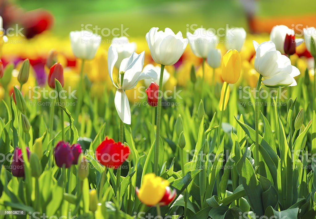 Multi coloured tulips royalty-free stock photo