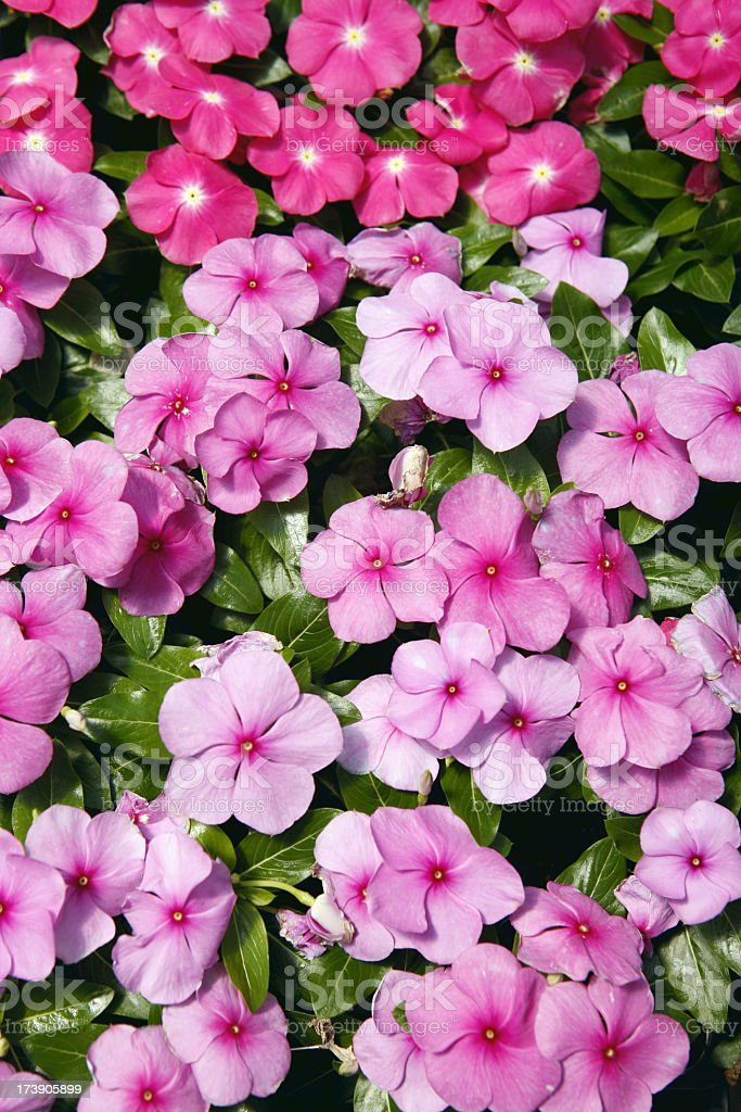Multi shaded Impatiens growing in groups stock photo
