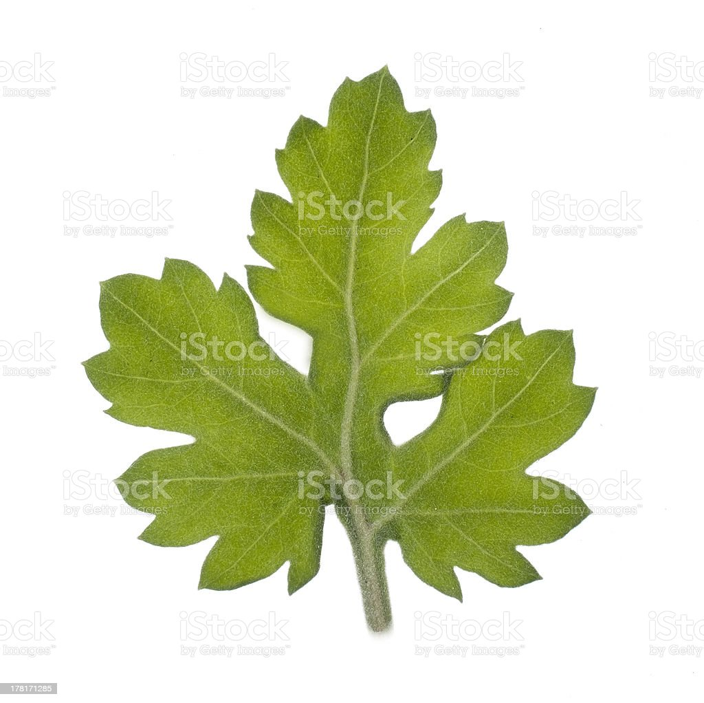 Multi-branched leaf stock photo
