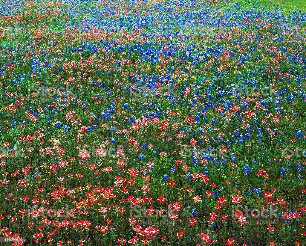 multicololored indian paintbrush and bluebonnet lupine wildflowers in Texas field royalty-free stock photo