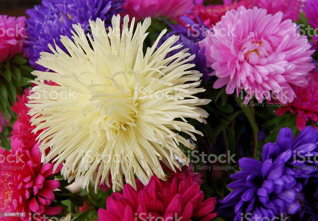 multicolor asters close up stock photo