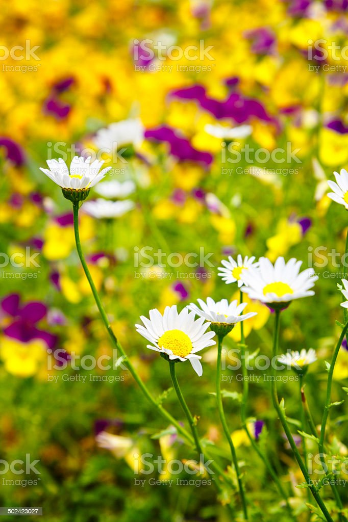 Multicolor flower bed with white Margaritas in foreground stock photo