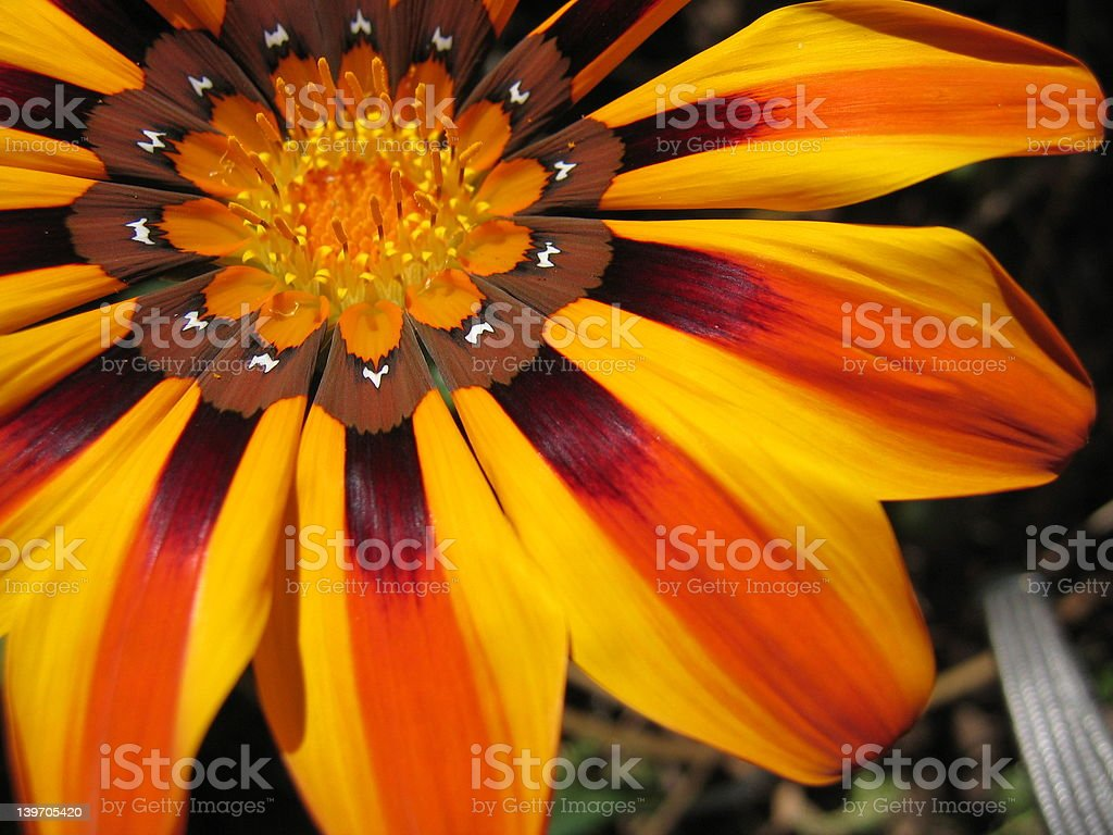Multicolor Flower royalty-free stock photo