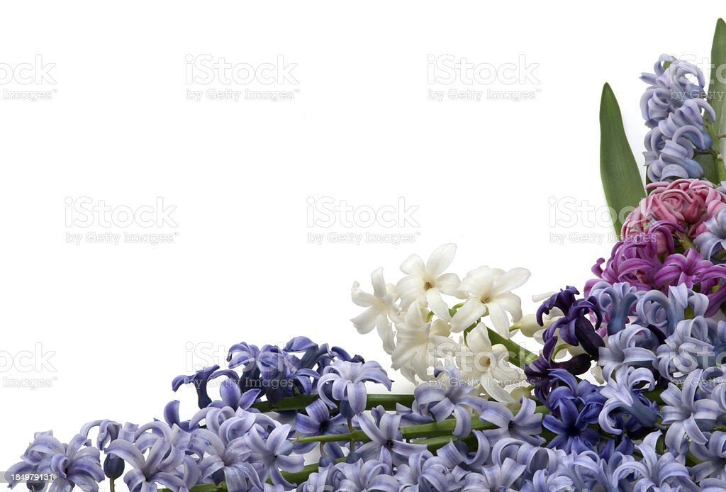 Multicolor hyacinth stock photo