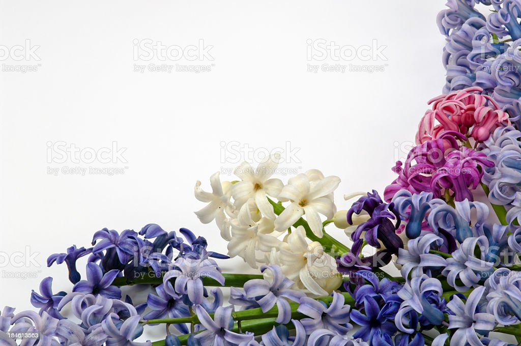 Multicolor hyacinths stock photo