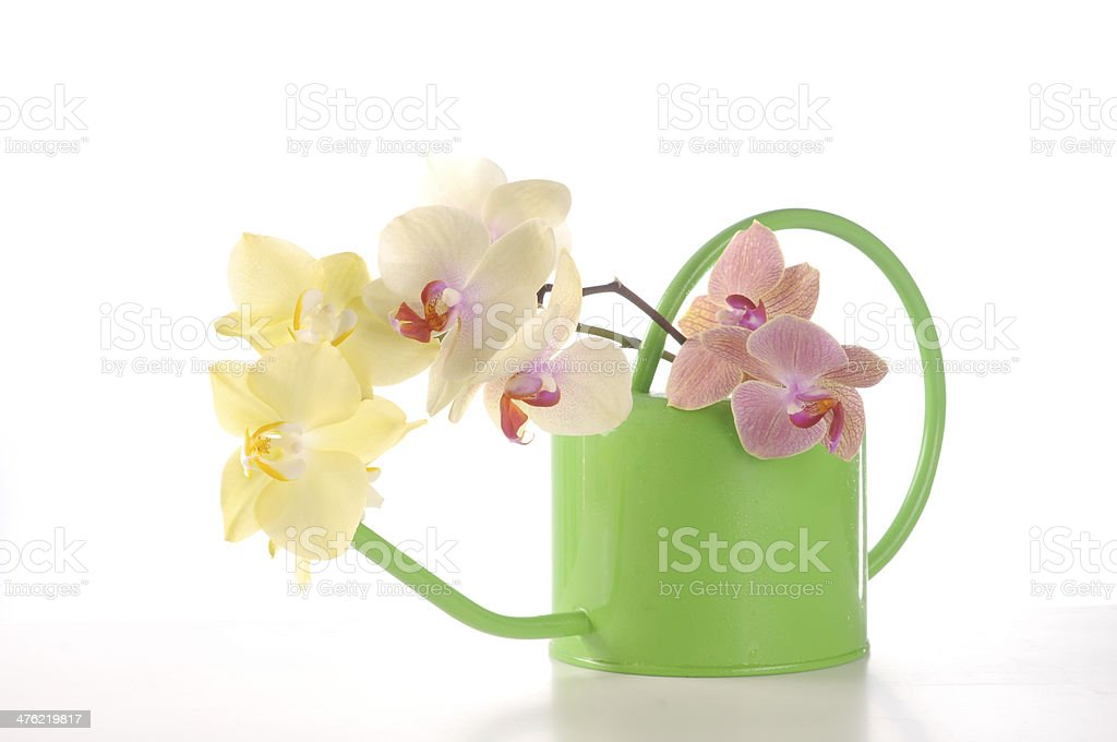 Multicolor phalaenopsis orchid flowers in a watering can royalty-free stock photo