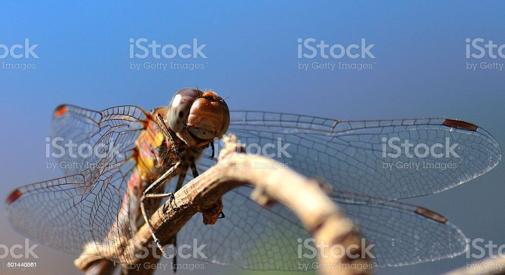 Multicolor  sympetrum dragonfly perched on small branch stock photo