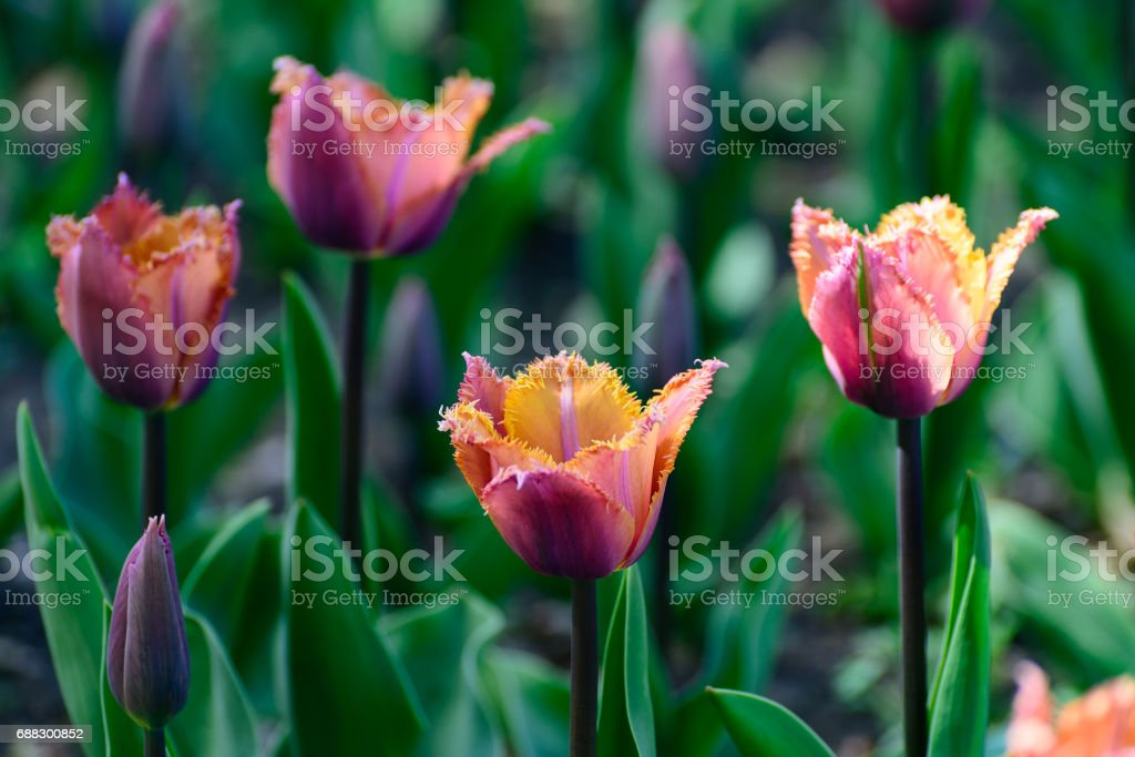 Multicolor tulips in the spring garden. Springtime flowering. stock photo