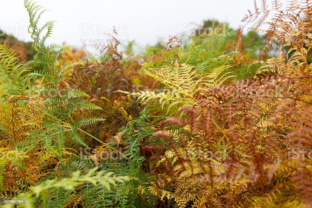 Multicolored Autumn fern - Helechos Multicolores Otoñales stock photo