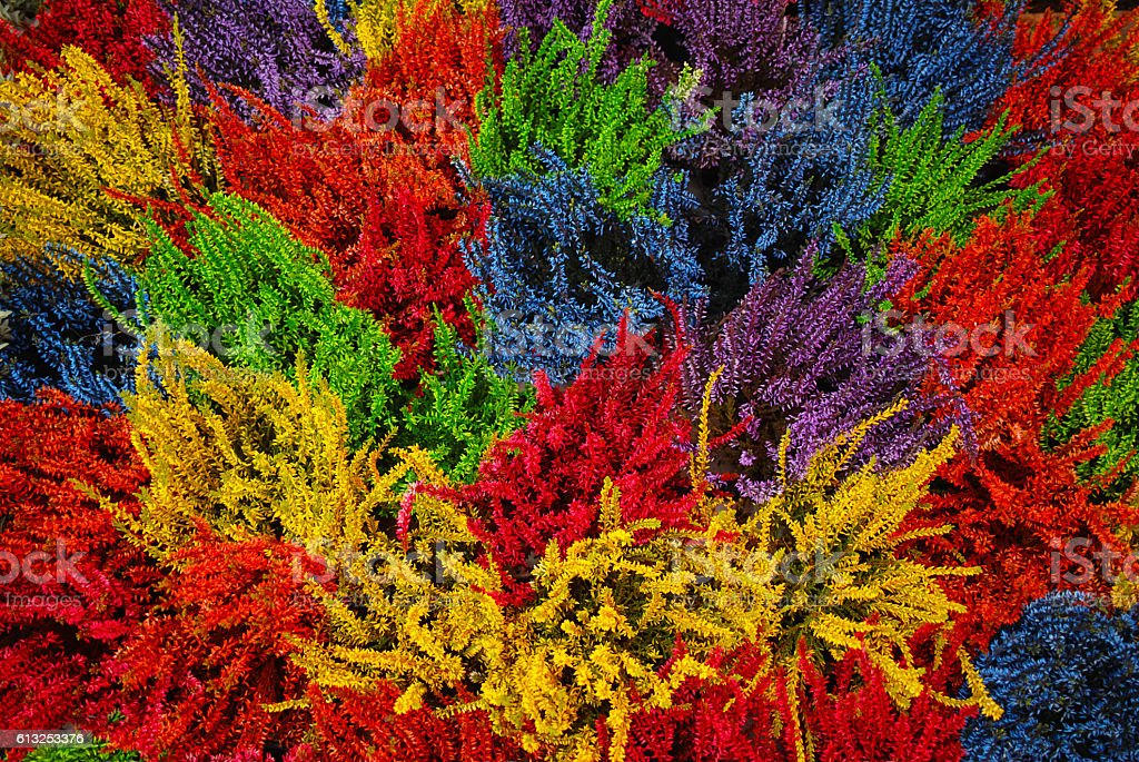 Multicolored blossoming heather (Calluna vulgaris), colorful flowers stock photo
