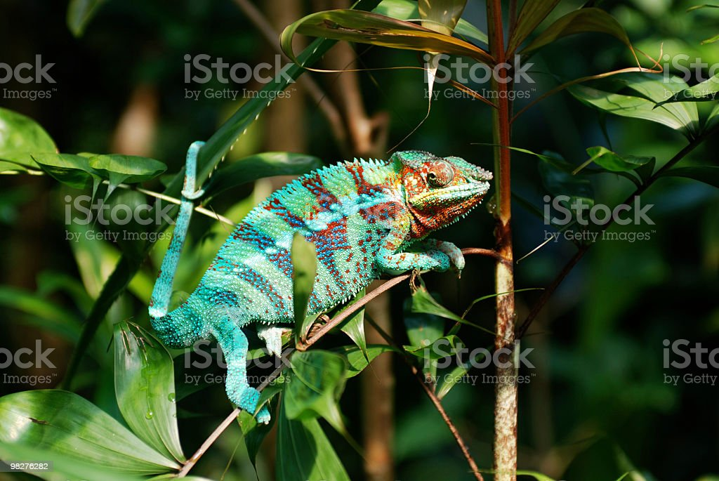 Multicolored chameleon sitting on a bush and staring with eyes stock photo