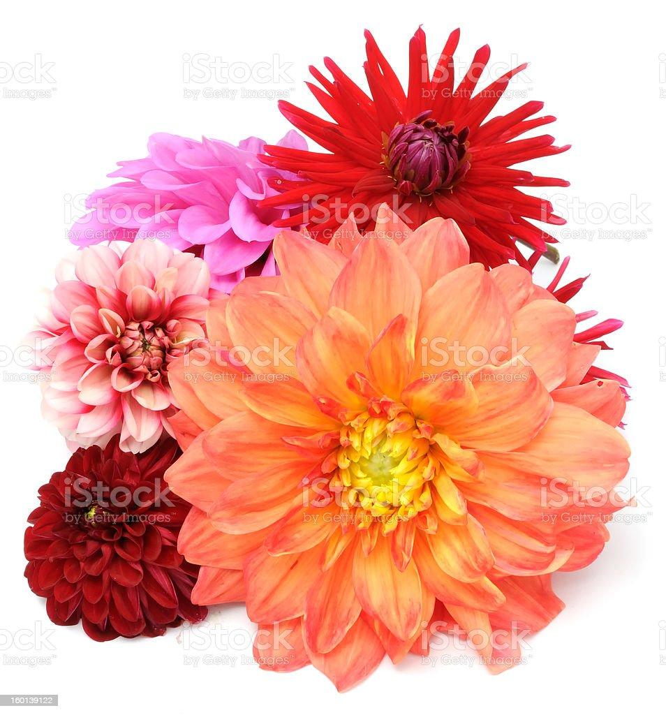 Multicolored Dahlias stock photo