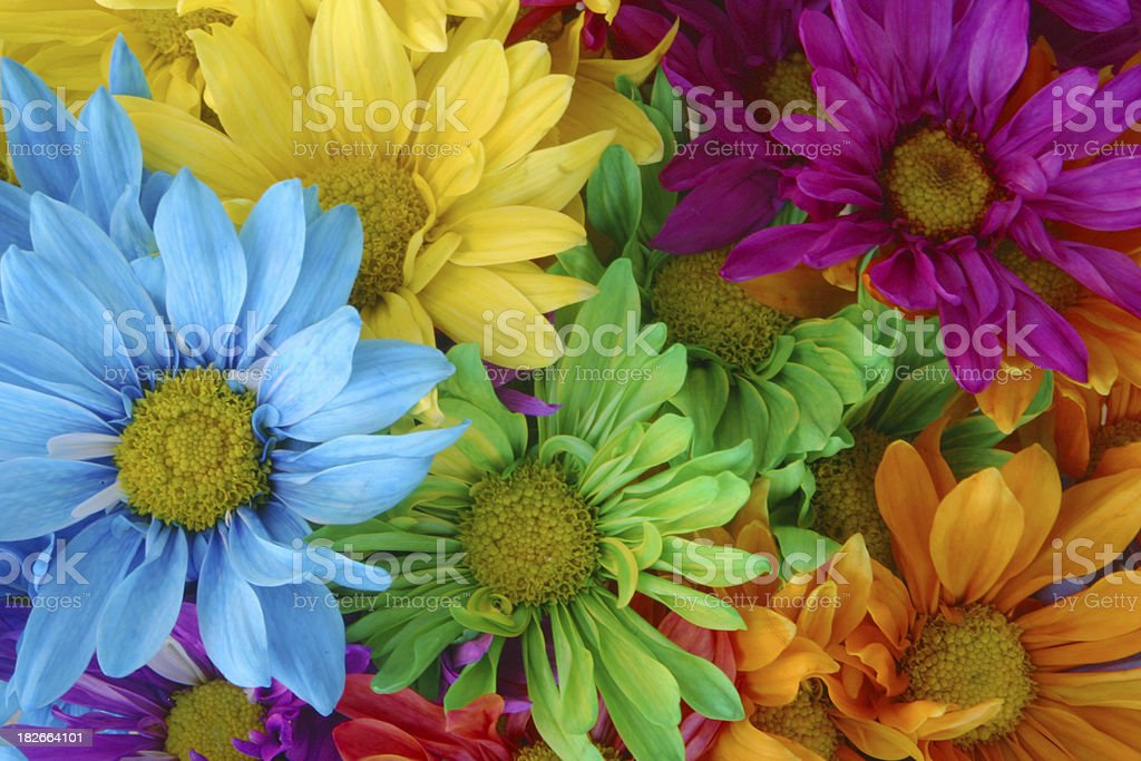 Multicolored Daisies royalty-free stock photo
