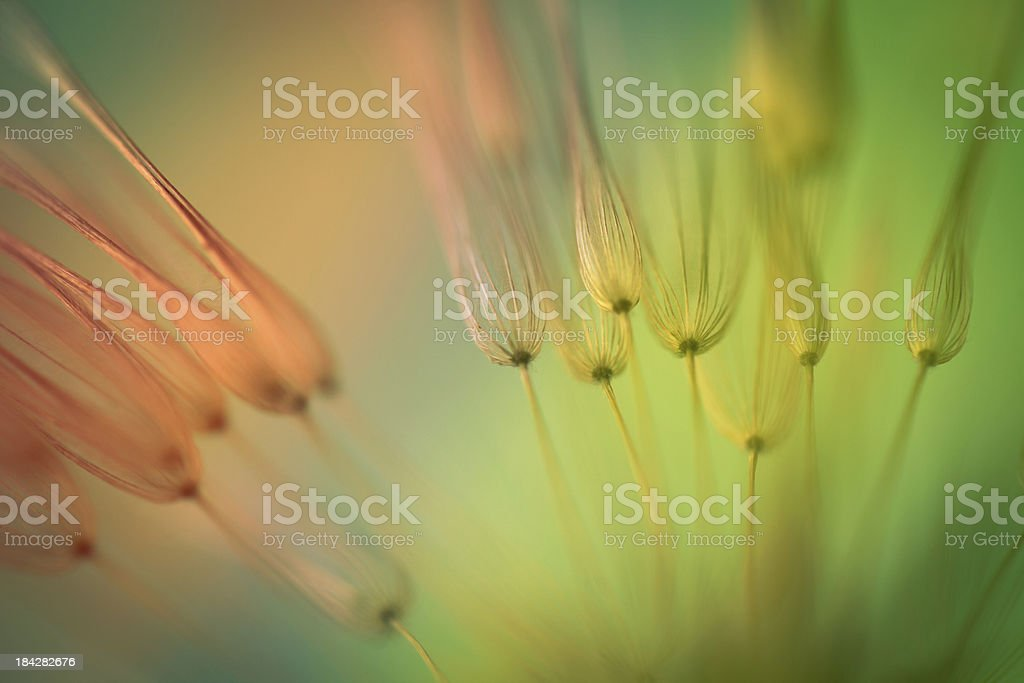Multicolored dandelion seed royalty-free stock photo
