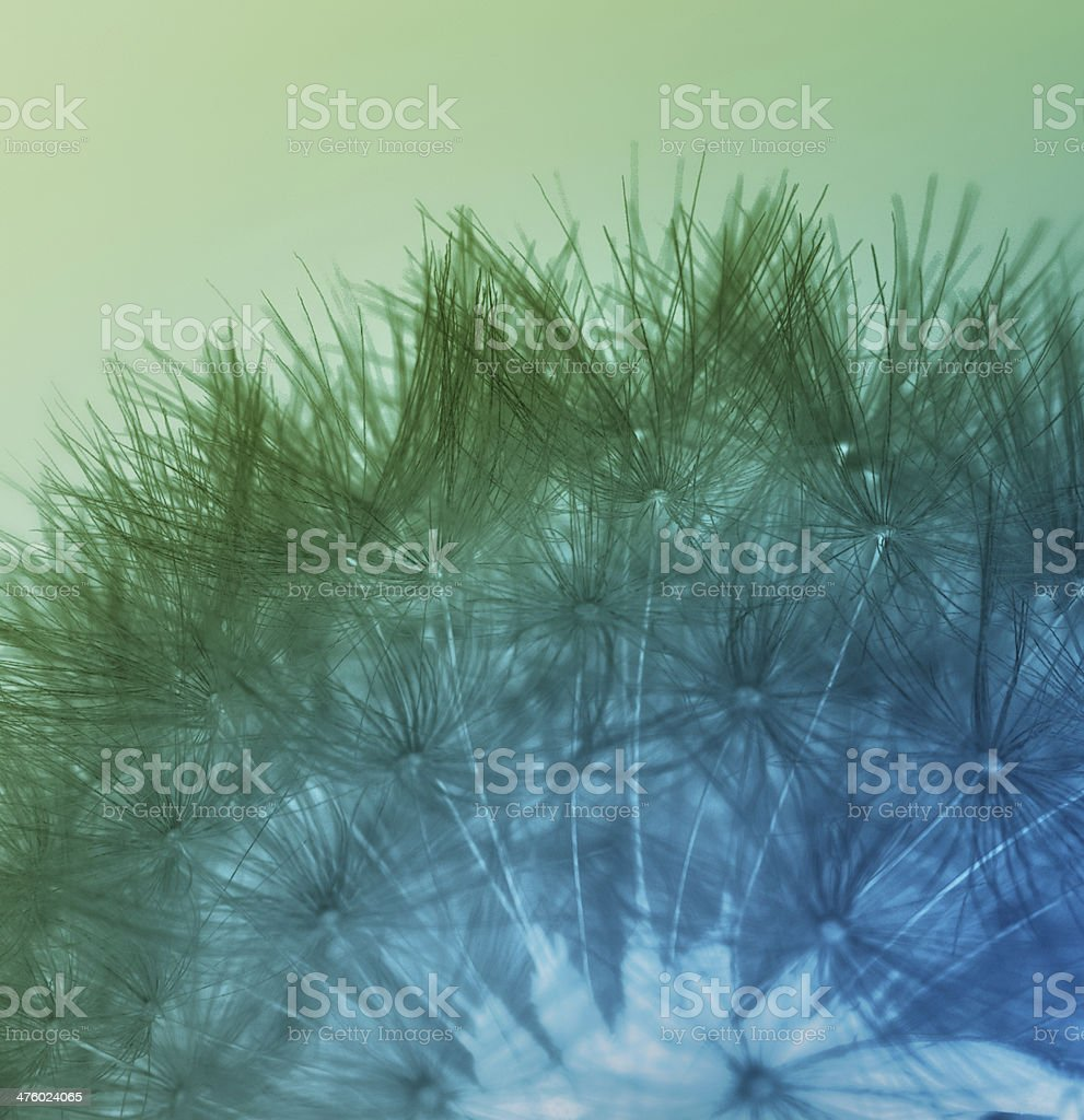 Multicolored dandelion seeds royalty-free stock photo