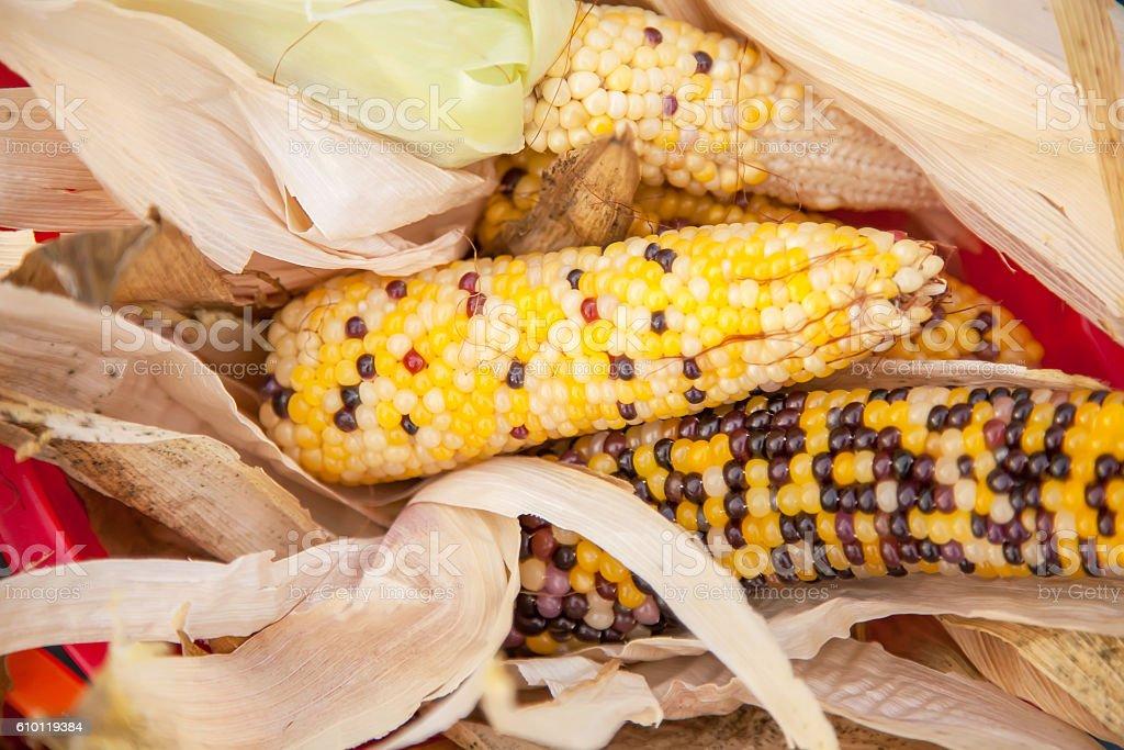 Multicolored Ears of Popcorn stock photo