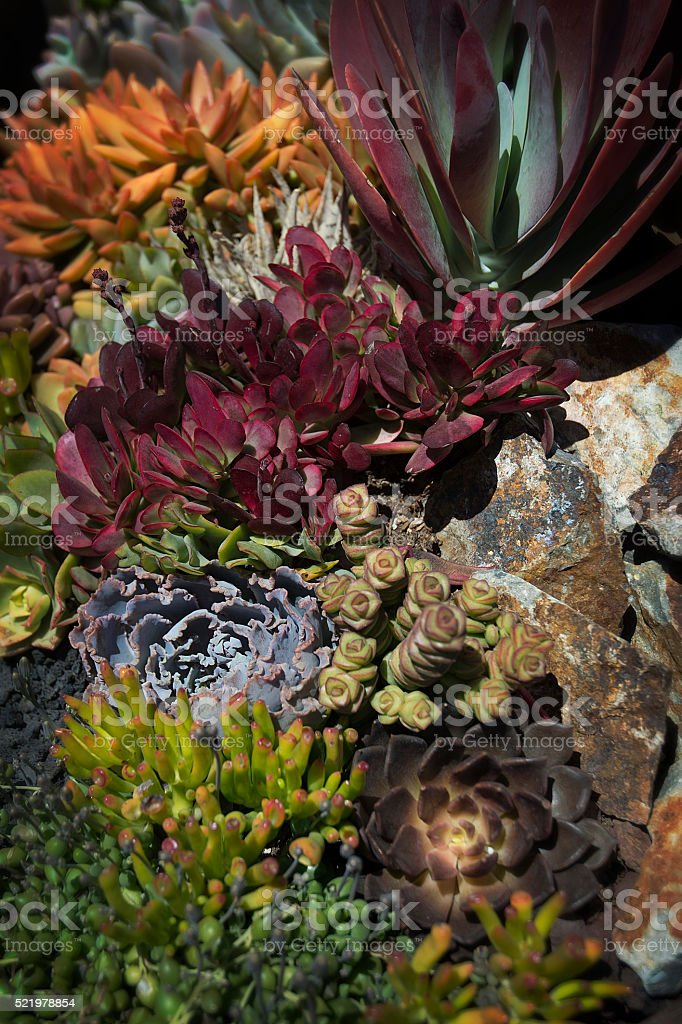 Multicolored Exotic Succulent Cactus Plants Macro stock photo