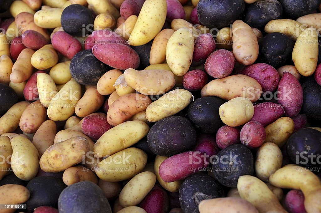 Multi-colored fingerling potatoes at an outdoor farmers' market. stock photo